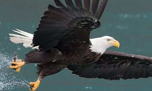 Alaska - Homer- Eagle - Wildlife, animals, cruisetour